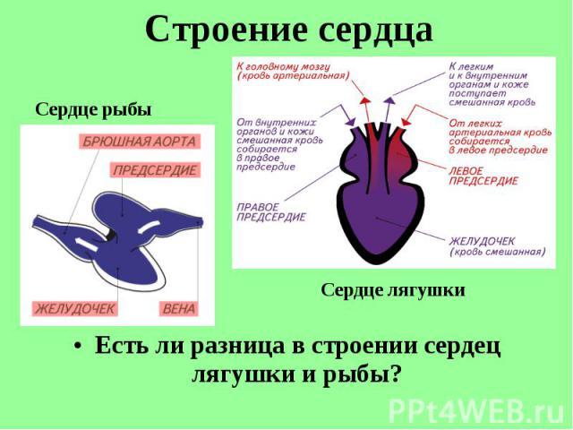 Есть ли разница в строении сердец лягушки и рыбы? Есть ли разница в строении сердец лягушки и рыбы?