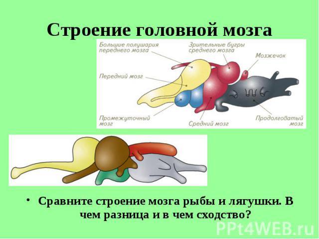 Сравните строение мозга рыбы и лягушки. В чем разница и в чем сходство? Сравните строение мозга рыбы и лягушки. В чем разница и в чем сходство?