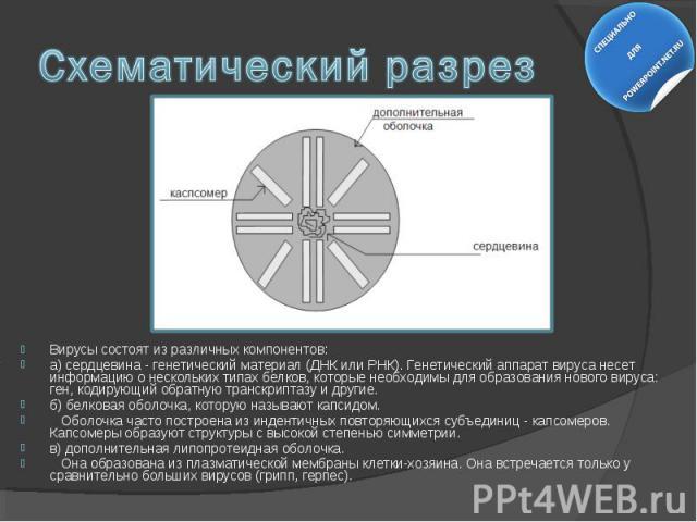 Вирусы состоят из различных компонентов: Вирусы состоят из различных компонентов: а) сердцевина - генетический материал (ДНК или РНК). Генетический аппарат вируса несет информацию о нескольких типах белков, которые необходимы для образования нового …