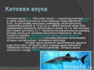 Китовая акула (лат. Rhincodon typus) — самый крупный вид акул, а также самый кру