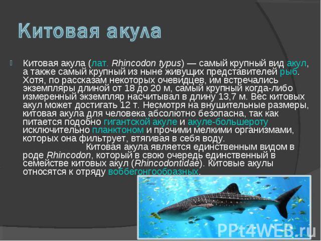 Китовая акула (лат. Rhincodon typus) — самый крупный вид акул, а также самый крупный из ныне живущих представителей рыб. Хотя, по рассказам некоторых очевидцев, им встречались экземпляры длиной от 18 до 20 м, самый крупный когда-либо измеренный экзе…