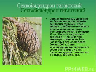 Самым массивным деревом на Земле является секвойя дендронгигантский. Хвоя дерева