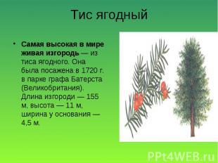 Самая высокая в мире живая изгородь — из тиса ягодного. Она была посажена в 1720