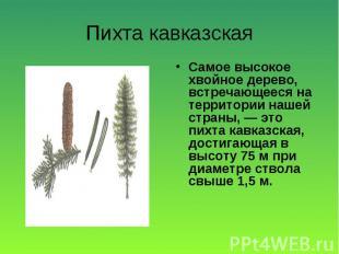 Самое высокое хвойное дерево, встречающееся на территории нашей страны, — это пи