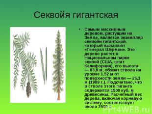 Самым массивным деревом, растущим на Земле, является экземпляр секвойи гигантско