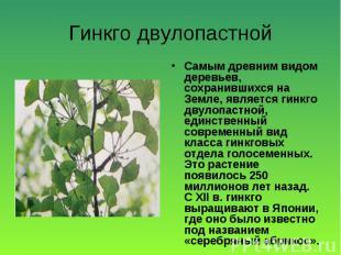 Самым древним видом деревьев, сохранившихся на Земле, является гинкго двулопастн