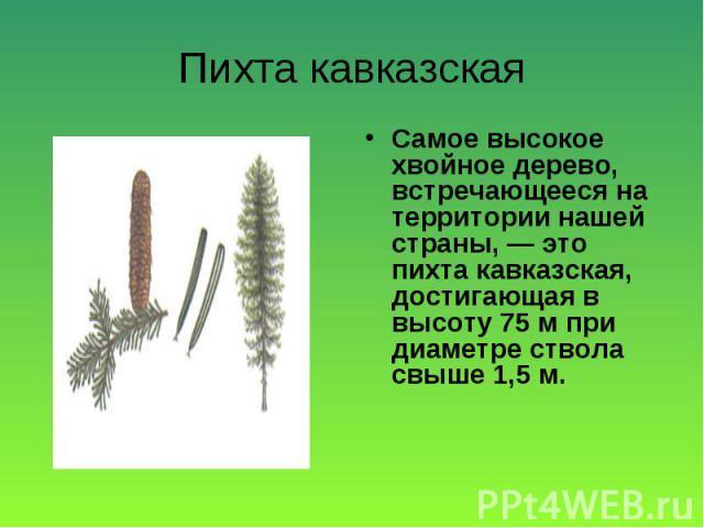 Самое высокое хвойное дерево, встречающееся на территории нашей страны, — это пихта кавказская, достигающая в высоту 75 м при диаметре ствола свыше 1,5 м. Самое высокое хвойное дерево, встречающееся на территории нашей страны, — это пихта кавказская…