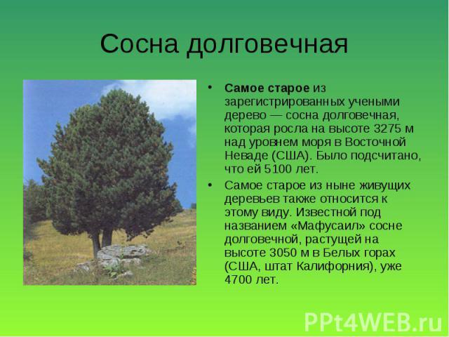 Самое старое из зарегистрированных учеными дерево — сосна долговечная, которая росла на высоте 3275 м над уровнем моря в Восточной Неваде (США). Было подсчитано, что ей 5100 лет. Самое старое из зарегистрированных учеными дерево — сосна долговечная,…