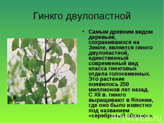 Самым древним видом деревьев, сохранившихся на Земле, является гинкго двулопастной, единственный современный вид класса гинкговых отдела голосеменных. Это растение появилось 250 миллионов лет назад. С ХII в. гинкго выращивают в Японии, где оно было …