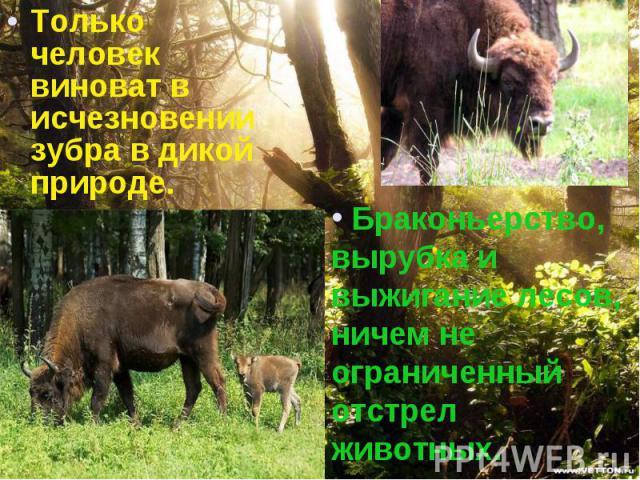 Только человек виноват в исчезновении зубра в дикой природе. Только человек виноват в исчезновении зубра в дикой природе.
