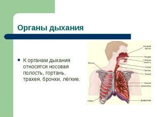 К органам дыхания относятся носовая полость, гортань, трахея, бронхи, лёгкие. К