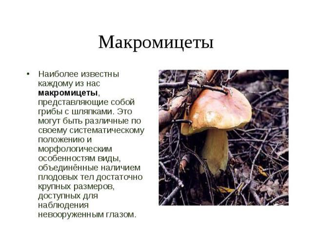 Наиболее известны каждому из нас макромицеты, представляющие собой грибы с шляпками. Это могут быть различные по своему систематическому положению и морфологическим особенностям виды, объединённые наличием плодовых тел достаточно крупных размеров, д…