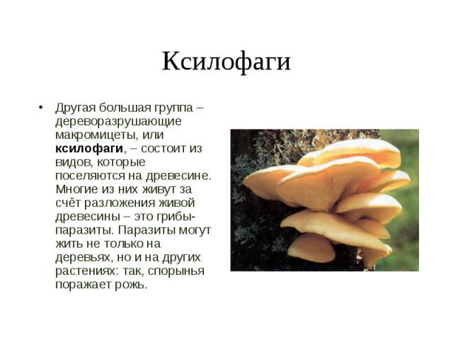 Другая большая группа – дереворазрушающие макромицеты, или ксилофаги, – состоит из видов, которые поселяются на древесине. Многие из них живут за счёт разложения живой древесины – это грибы-паразиты. Паразиты могут жить не только на деревьях, но и н…