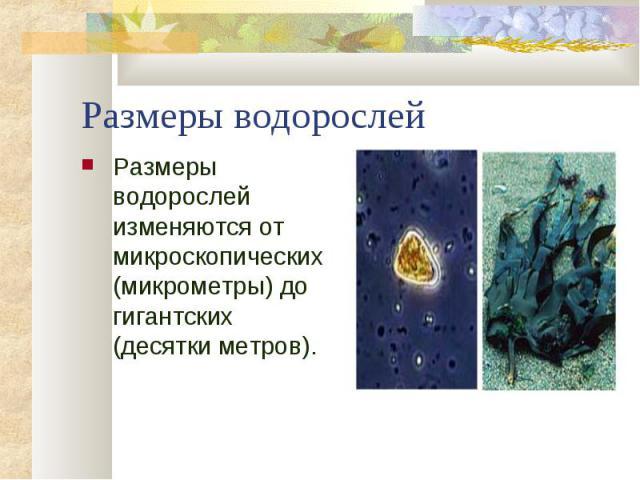 Размеры водорослей изменяются от микроскопических (микрометры) до гигантских (десятки метров). Размеры водорослей изменяются от микроскопических (микрометры) до гигантских (десятки метров).