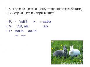 А– наличие цвета, a – отсутствие цвета (альбинизм) А– наличие цвета, a – отсутст