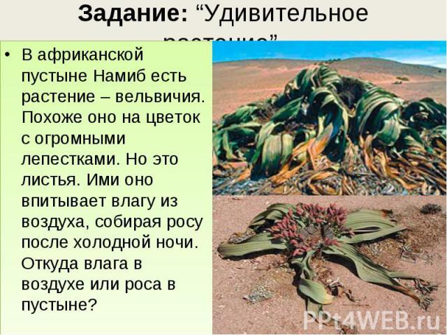 В африканской пустыне Намиб есть растение – вельвичия. Похоже оно на цветок с огромными лепестками. Но это листья. Ими оно впитывает влагу из воздуха, собирая росу после холодной ночи. Откуда влага в воздухе или роса в пустыне? В африканской пустыне…