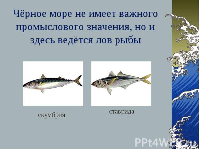 Чёрное море не имеет важного промыслового значения, но и здесь ведётся лов рыбы