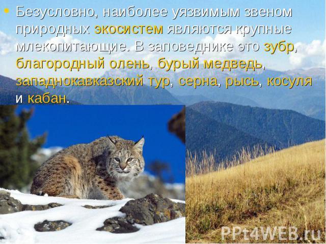 Безусловно, наиболее уязвимым звеном природных экосистем являются крупные млекопитающие. В заповеднике это зубр, благородный олень, бурый медведь, западнокавказский тур, серна, рысь, косуля и кабан. Безусловно, наиболее уязвимым звеном природных эко…
