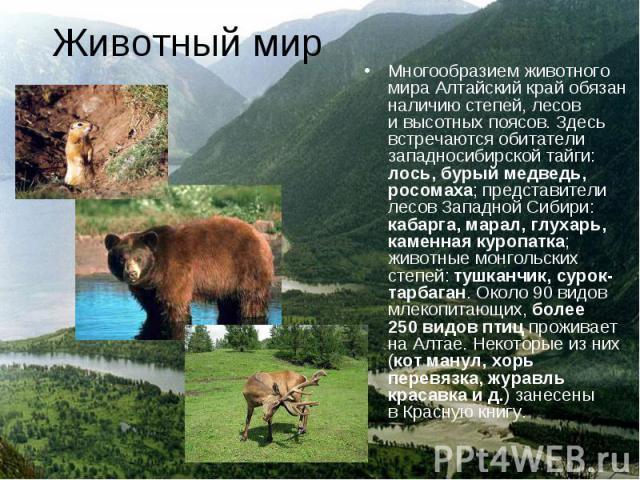 Многообразием животного мира Алтайский край обязан наличию степей, лесов ивысотных поясов. Здесь встречаются обитатели западносибирской тайги: лось, бурый медведь, росомаха; представители лесов Западной Сибири: кабарга, марал, глухарь, каменна…