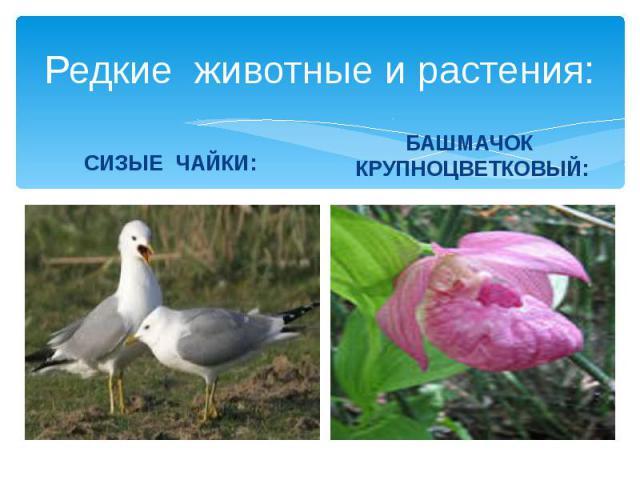 Редкие животные и растения: СИЗЫЕ ЧАЙКИ: