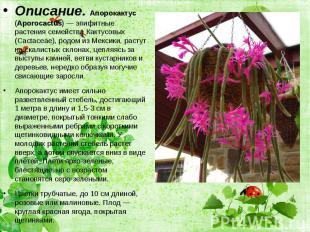 Описание. Апорокактус (Aporocactus) — эпифитные растения семейства Кактусовых (C
