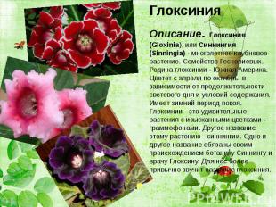 Глоксиния Глоксиния Описание. Глоксиния (Gloxinia), или Синнингия (Sinningia) -