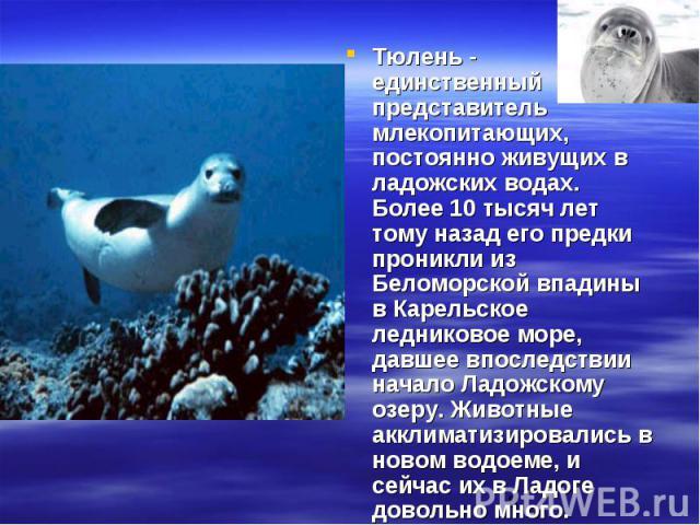 Тюлень - единственный представитель млекопитающих, постоянно живущих в ладожских водах. Более 10 тысяч лет тому назад его предки проникли из Беломорской впадины в Карельское ледниковое море, давшее впоследствии начало Ладожскому озеру. Животные аккл…