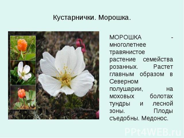 Кустарнички. Морошка. МОРОШКА - многолетнее травянистое растение семейства розанных. Растет главным образом в Северном полушарии, на моховых болотах тундры и лесной зоны. Плоды съедобны. Медонос.