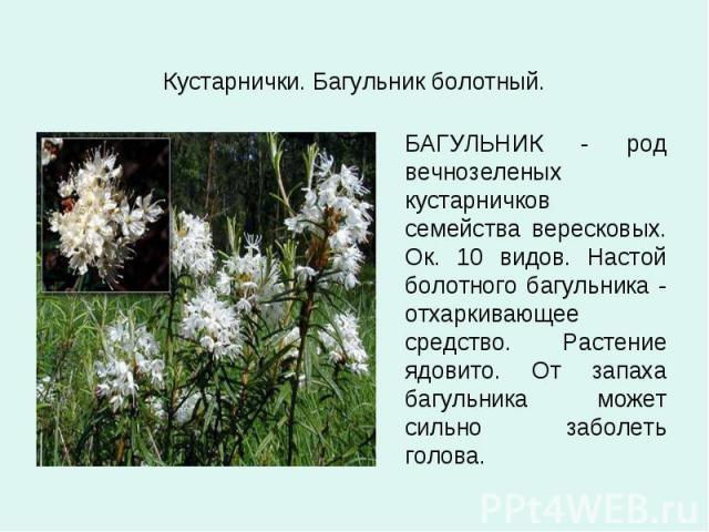 Кустарнички. Багульник болотный. БАГУЛЬНИК - род вечнозеленых кустарничков семейства вересковых. Ок. 10 видов. Настой болотного багульника - отхаркивающее средство. Растение ядовито. От запаха багульника может сильно заболеть голова.