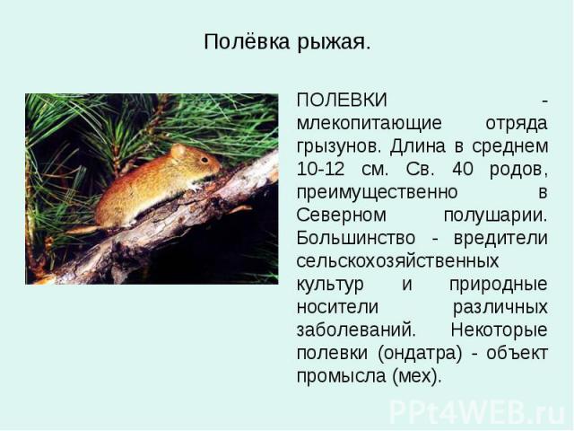 Полёвка рыжая. ПОЛЕВКИ - млекопитающие отряда грызунов. Длина в среднем 10-12 см. Св. 40 родов, преимущественно в Северном полушарии. Большинство - вредители сельскохозяйственных культур и природные носители различных заболеваний. Некоторые полевки …