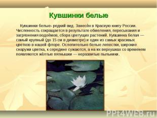 Кувшинки белые- редкий вид. Занесён в Красную книгу России. Численность сокращае