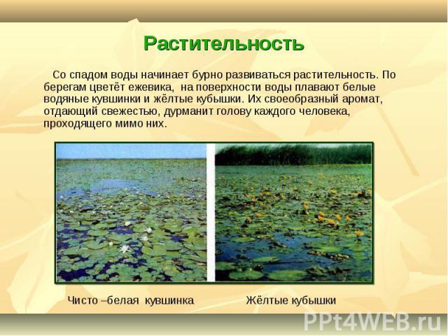 Со спадом воды начинает бурно развиваться растительность. По берегам цветёт ежевика, на поверхности воды плавают белые водяные кувшинки и жёлтые кубышки. Их своеобразный аромат, отдающий свежестью, дурманит голову каждого человека, проходящего мимо …