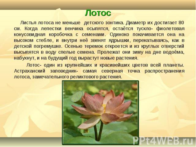 Листья лотоса не меньше детского зонтика. Диаметр их достигает 80 см. Когда лепестки венчика осыпятся, остаётся тускло- фиолетовая конусовидная коробочка с семенами. Одиноко покачивается она на высоком стебле, и внутри неё звенят ядрышки, перекатыва…