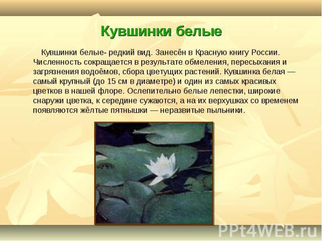 Кувшинки белые- редкий вид. Занесён в Красную книгу России. Численность сокращается в результате обмеления, пересыхания и загрязнения водоёмов, сбора цветущих растений. Кувшинка белая — самый крупный (до 15 см в диаметре) и один из самых красивых цв…
