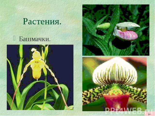 Растения. Башмачки.
