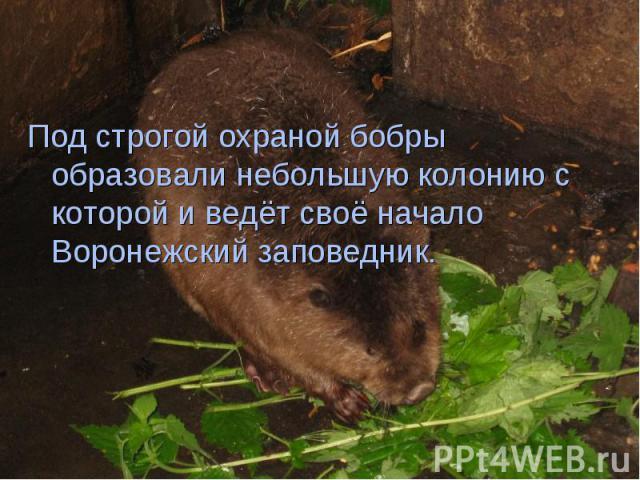 Под строгой охраной бобры образовали небольшую колонию с которой и ведёт своё начало Воронежский заповедник. Под строгой охраной бобры образовали небольшую колонию с которой и ведёт своё начало Воронежский заповедник.