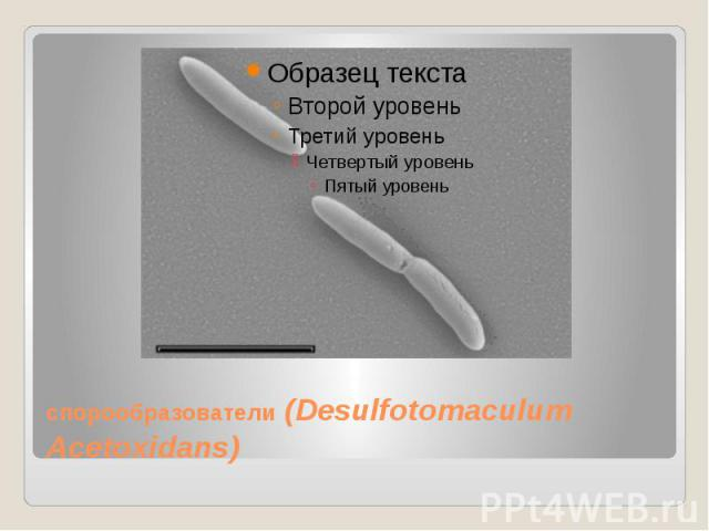 спорообразователи(Desulfotomaculum Acetoxidans)