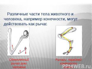 Различные части тела животного и человека, например конечности, могут действоват