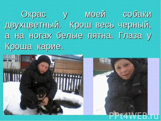 Окрас у моей собаки двухцветный. Крош весь черный, а на ногах белые пятна. Глаза у Кроша карие. Окрас у моей собаки двухцветный. Крош весь черный, а на ногах белые пятна. Глаза у Кроша карие.