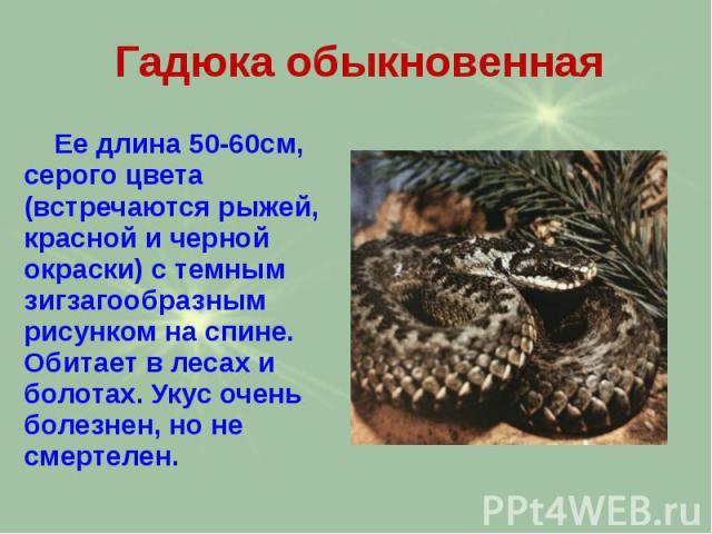 Гадюка обыкновенная Ее длина 50-60см, серого цвета (встречаются рыжей, красной и черной окраски) с темным зигзагообразным рисунком на спине. Обитает в лесах и болотах. Укус очень болезнен, но не смертелен.