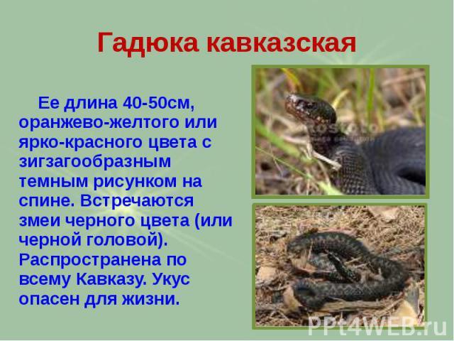 Гадюка кавказская Ее длина 40-50см, оранжево-желтого или ярко-красного цвета с зигзагообразным темным рисунком на спине. Встречаются змеи черного цвета (или черной головой). Распространена по всему Кавказу. Укус опасен для жизни.