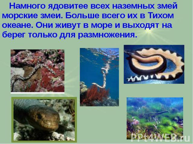 Намного ядовитее всех наземных змей морские змеи. Больше всего их в Тихом океане. Они живут в море и выходят на берег только для размножения. Намного ядовитее всех наземных змей морские змеи. Больше всего их в Тихом океане. Они живут в море и выходя…