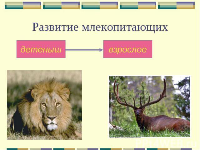 Развитие млекопитающих