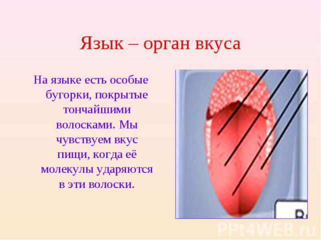 Язык – орган вкуса На языке есть особые бугорки, покрытые тончайшими волосками. Мы чувствуем вкус пищи, когда её молекулы ударяются в эти волоски.