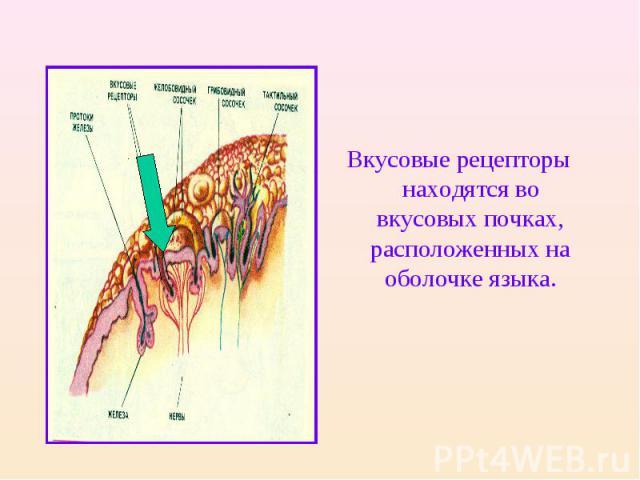 Вкусовые рецепторы находятся во вкусовых почках, расположенных на оболочке языка.