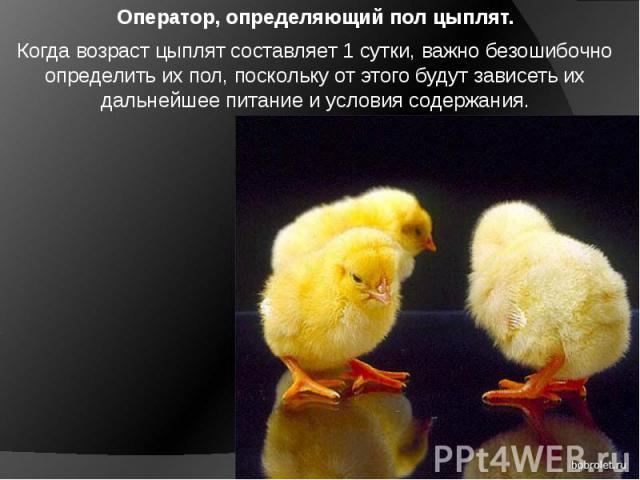 Оператор, определяющий пол цыплят. Когда возраст цыплят составляет 1 сутки, важно безошибочно определить их пол, поскольку от этого будут зависеть их дальнейшее питание и условия содержания.