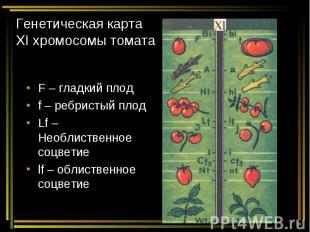 Генетическая карта ХI хромосомы томата F – гладкий плод f – ребристый плод Lf –