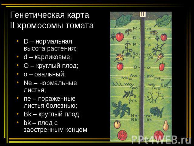 Генетическая карта II хромосомы томата D – нормальная высота растения; d – карликовые; O – круглый плод; o – овальный; Ne – нормальные листья; ne – пораженные листья болезнью; Bk – круглый плод; bk – плод с заостренным концом