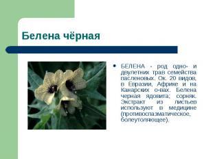 БЕЛЕНА - род одно- и двулетних трав семейства пасленовых. Ок. 20 видов, в Еврази