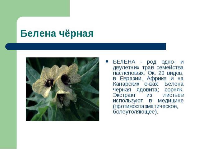 БЕЛЕНА - род одно- и двулетних трав семейства пасленовых. Ок. 20 видов, в Евразии, Африке и на Канарских о-вах. Белена черная ядовита; сорняк. Экстракт из листьев используют в медицине (противоспазматическое, болеутоляющее).